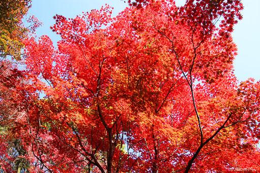 真っ赤に色づくもみじの木