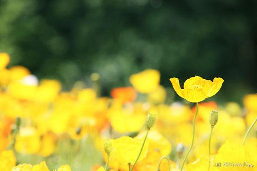 黄色のアイスランドポピーの花畑