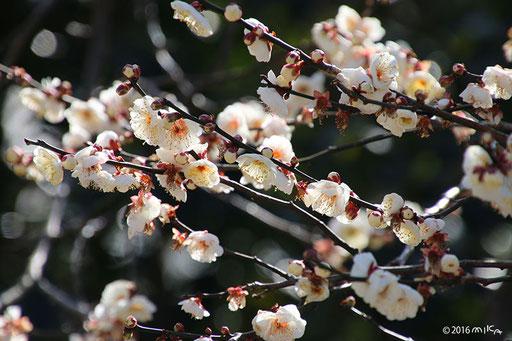 咲き始めの白い梅