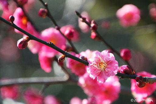 咲き始めの赤い梅