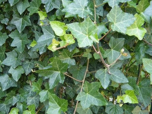 Efeublätter - Mobilane Fertighecke® - Pflanzfertige Heckenelemente - Fertiger Sichtschutz - Garten Bronder©