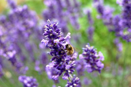 Biene auf Lavendel - Christopher Nebel Fotografie
