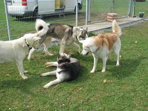 Chenook und drei seiner  Nothilfe-Kumpels bei einem Besuch der neuen Auffangstation, anlässlich eines Arbeitseinsatzes