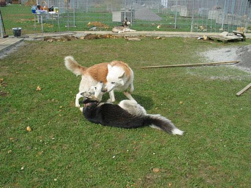 In der Nothilfe Polarhunde Freudenstadt, wo Chenook damals herkam
