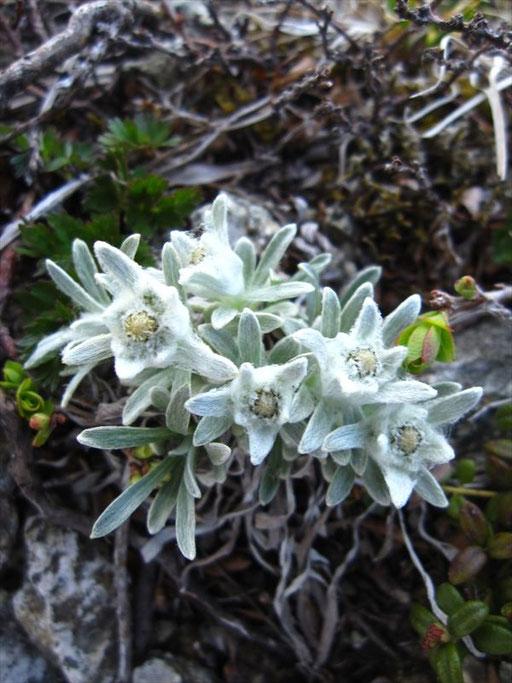 朝日連峰の花の百名山代表「ヒナウスユキソウ」