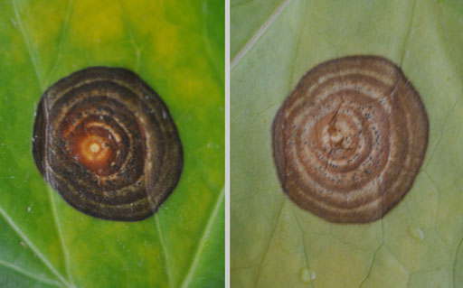 Phyllosticta concentrica