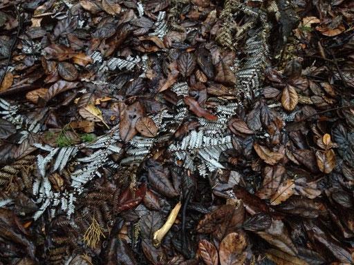 silber(!)farn / silver(!)fern