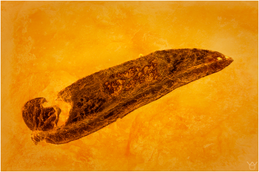 7072a, Baltic Amber
