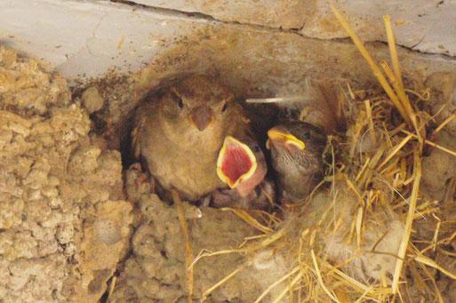 Nackte Jungvögel am besten ins Nest zurück setzen