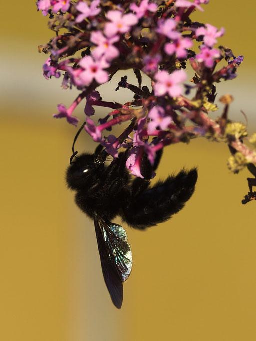 Große Blaue Holzbiene (Xylocopa violacea)
