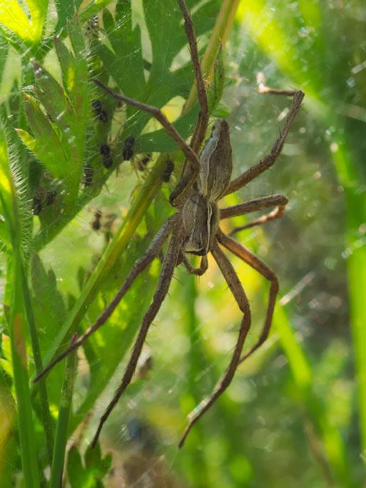 Listspinne (Pisaura mirabilis)