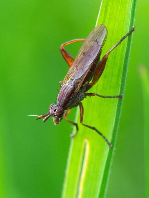 Vermutlich aus der Familie der Hornfliegen