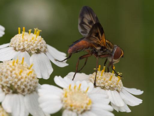 Breitflügelige Raupenfliege (Ectophasia crassipennis) auf Sumpf-Schafgarbe (Achillea ptarmica)