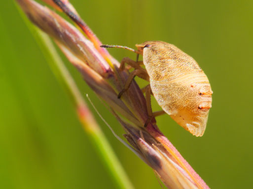 Nymphe der Getreidewanze (Aelia acuminata)