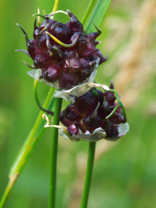 Schlangen-Lauch (Allium scorodoprasum)