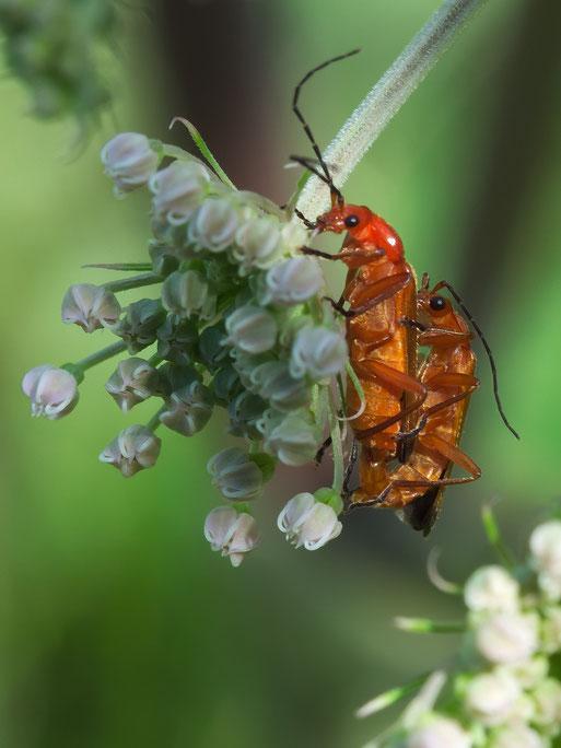 Roter Weichkäfer (Rhagonycha fulva) auf Echtem Mädesüß (Filipendula ulmaria)