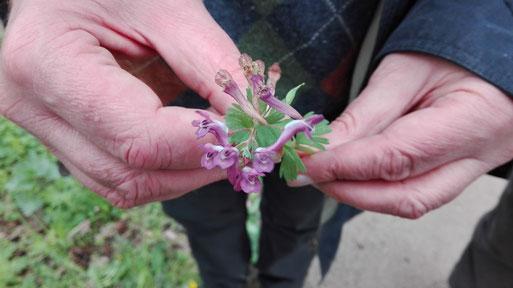 Den Gefingerten Lerchensporn Corydalis solida erkennt man an den gefingerten Hochblättern unter den Blüten (Bild: Britta Ladner)