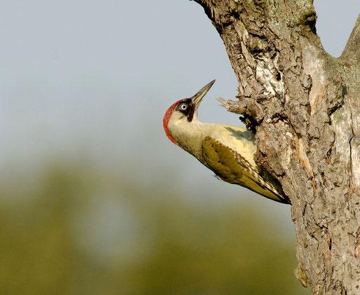 Der Grünspecht - Vogel des Jahres 2014. Foto: Tom Dove