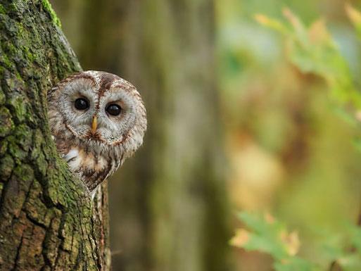 Der Waldkauz - Vogel des Jahres 2017. Foto: NABU/Peter Kühn
