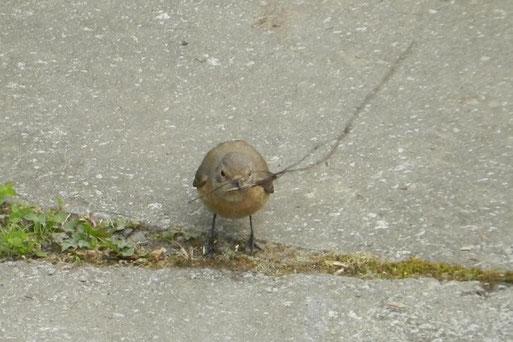 Gartenrotschwanz auf dem Boden mit Nistmaterial im Schnabel.