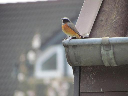 Gartenrotschwanz auf Dachrinne
