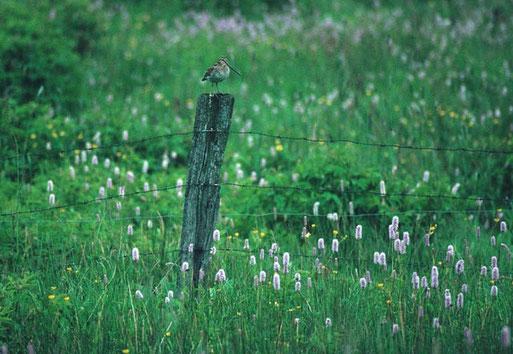 Bekassine sitzt auf einem Weidezaunpfahl im Feuchtgrünland