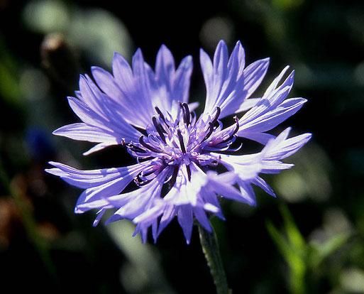 Die Kornblume wurde von der griechischen Göttin Demeter (für die Fruchtbarkeit zuständig) im Haar getragen. Sie war heilig, weil sie in Getreidefeldern eine gute Ernte ankündigte. Foto: Wolfgang Prägler