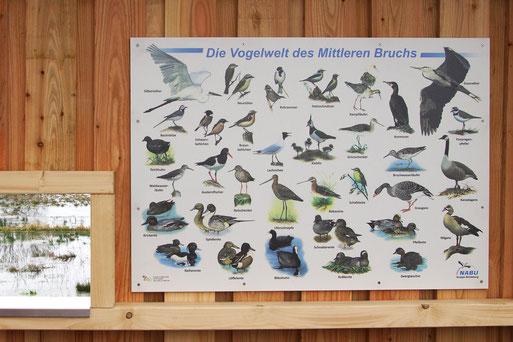 Diese Infotafel gibt eine Übersicht über genau die Vogelarten, die abhängig vom Wasserstand und von der Jahreszeit beobachtet werden können. Manche auch nur mit viel Glück...