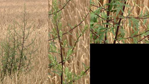 Gewöhnlicher Beifuß - Artemisia vulgaris; Feldrand bei Auerbach (G. Franke, 17.07.2021)