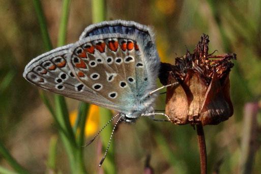 Hauhechel-Bläuling - Polyommatus icarus; auf der Blühfläche (G. Franke, 11.08.2020)