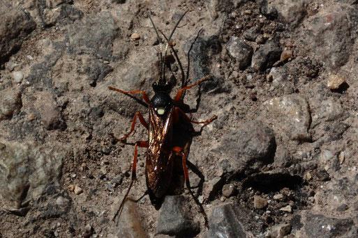 Vierfleck-Höhlenschlupfwespe - Diphyus quadripunctorius; fliegt aus einem Ackerrandstreifen bei Langensteinbach und landet am Feldwegrand (G. Franke, 27.04.2021)