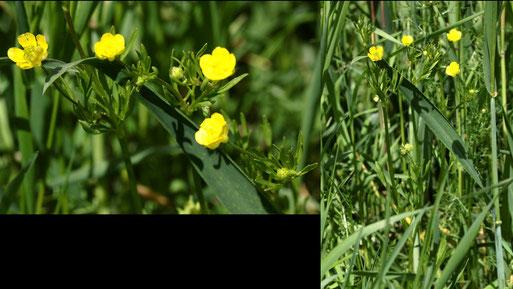 Acker-Hahnenfuß - Ranunculus arvensis; Rote Liste D 3 - gefährdet; Ackerrand an einem Grünweg bei Langensteinbach (G. Franke, 22.05.2021)