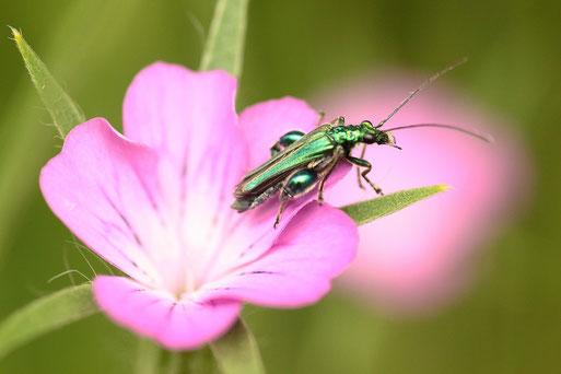 Grüner Scheinbock-Käfer auf einer Blüte der Kornrade (G. Franke)