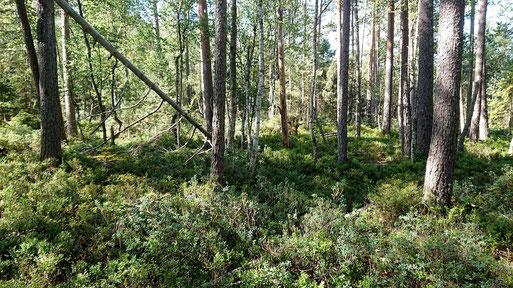 am Rande des Waldmoores zwischen Oberreichenbach und Würzbach - im Vordergrund sind Heidelbeer- und Rauschbeersträucher zu sehen (G. Franke, 23.07.2020)