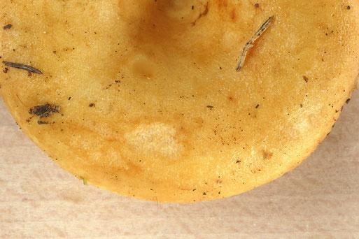Bild 2 – Hutoberfläche eines jungen Fruchtkörpers (B. Miggel)
