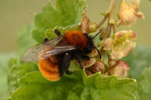 Rotpelzige Sandbiene - Andrena fulva;  hat eine Vorliebe für Johannisbeer- und Jochelbeerblüten (G. Franke, 21.04.2021, Spielberg)