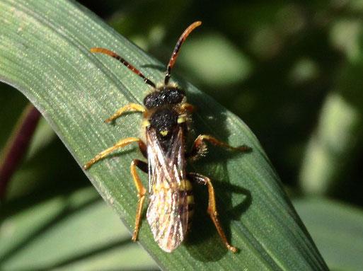 Gewöhnliche Wespenbiene, männlich - Nomada fucata; ruhend bei Karlsbad-Spielberg, ca. 6 - 7 mm lang(G. Franke, 28.03.2021)