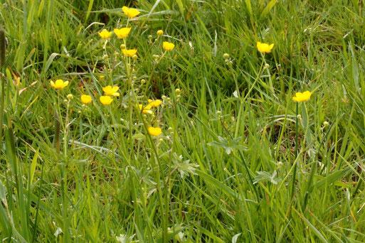 Scharfer Hahnenfuß - Ranunculus acris; blüht am Ackerrand zur Wiese bei Auerbach (G. Franke, 08.05.2021)