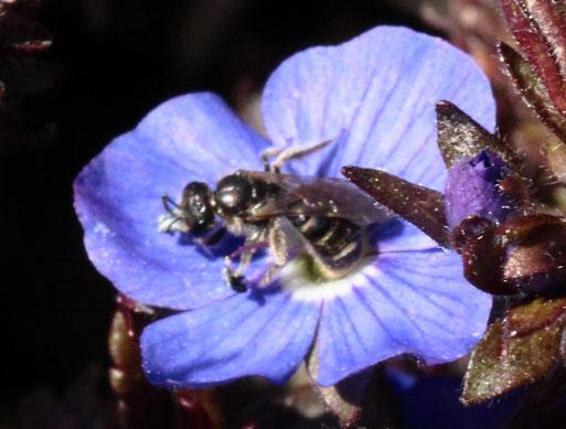 Blaue Ehrenpreis-Sandbiene - Andrena viridescens, eine sehr kleine Wildbienenart, die sich auschließlich auf Nektar und Pollen von Ehrenpreis spezialisiert hat (G. Franke, Spielberg,  15.03.20)