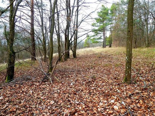 Der Standort: Waldgürtel einer Wacholderheide bei Kiefern, Rotbuchen und Elsbeeren (Foto: B. Miggel)