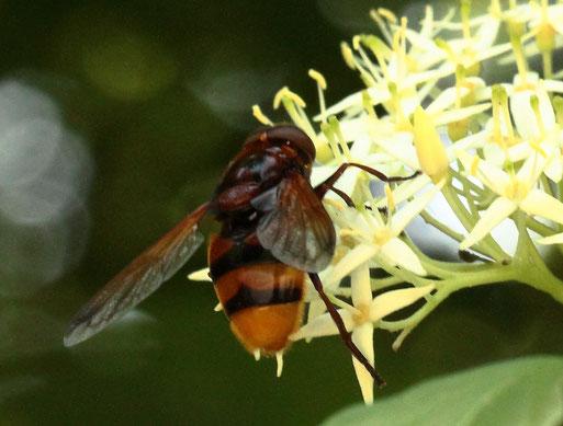 Hornissen-Schwebfliege - Volucella zonaria; Waldwegrand bei Ittersbach (G. Franke, 17.06.2021) Durch Anklicken des Fotos gelangen Sie zu den Schwebfliegen vor unserer Haustür
