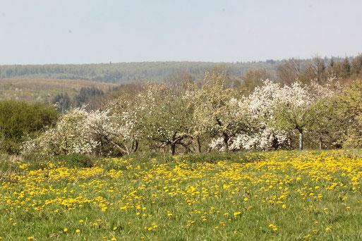 Baumblüte - Streuobstwiesen südwestlich von Karlsbad-Spielberg (G. Franke, 12.04.2020)