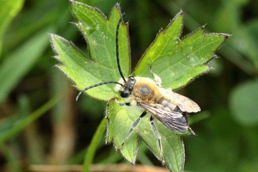 Mai-Langhornbiene - Eucera nigrescens; Streuobstwiese bei Karlsbad-Spielberg - Wildbiene des Jahres 2021 ist wieder unterwegs, bevorzugt die Blüten der Zaun-Wicke, hier ruhend - das ist selten zu sehen,  (G. Franke. 13.05.2021)