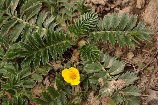 Gänse-Fingerkraut - Potentilla anserina; kriechende Pflanze, trittfeste Pionierpflanze, bevorzugt stickstoffreiche, frische, lehmig-tonige Böden; Ackerrand bei Auerbach (G. Franke, 04.05.2021)