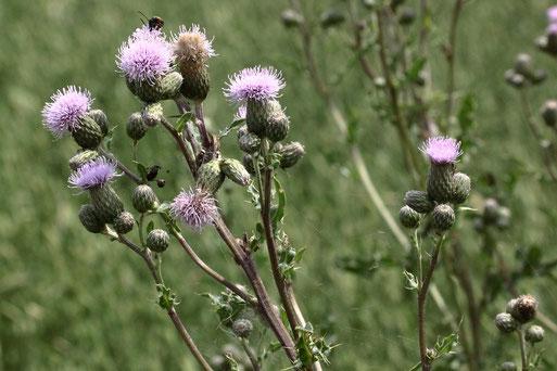 Blütenstände der Acker-Kratzdistel - Cirsium arvense; Ackerrand bei Auerbach (G. Franke, 26.06.2021)