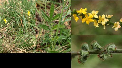 Kleiner Odermennig - Agrimonia eupatoria; Feldrand bei Auerbach (G. Franke, 12.08.2021)