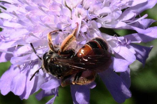 Knautien-Sandbiene - Andrena hattorfiana; auf den Blüten der Acker-Witwenblume bei Auerbach; diese Art hat sich auf Witwenblumen und Skabiosen spezialisiert (G. Franke, 03.07.2021)