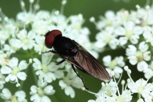 Gemeine Smaragdschwebfliege - Chrysogaster solstitalis, männl.; Waldwegrand - auf den Blüten von Giersch;  bei Spielberg (G. Franke, 19.06.2021)