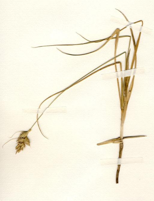 Carex arenaria (Sand-Segge) Im Gegensatz zu vielen anderen Seggen wächst sie auf trockenem, magerem Sandboden und treibt Ausläufer (gefunden bei Pritzerbe/ Brandenburg)