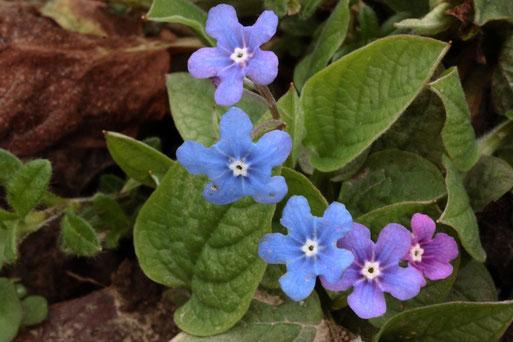 Es wird langsam bunt im Garten, Ende Februar - Frühlings-Gedenkemein - Omphalodes verna, in voller Blüte (G. Franke, 29.02.2020, Karlsbad-Spielberg)